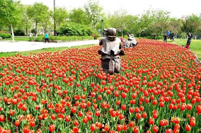 【原创影记】郁金香 艳广场 - 古藤新枝 - 古藤的博客