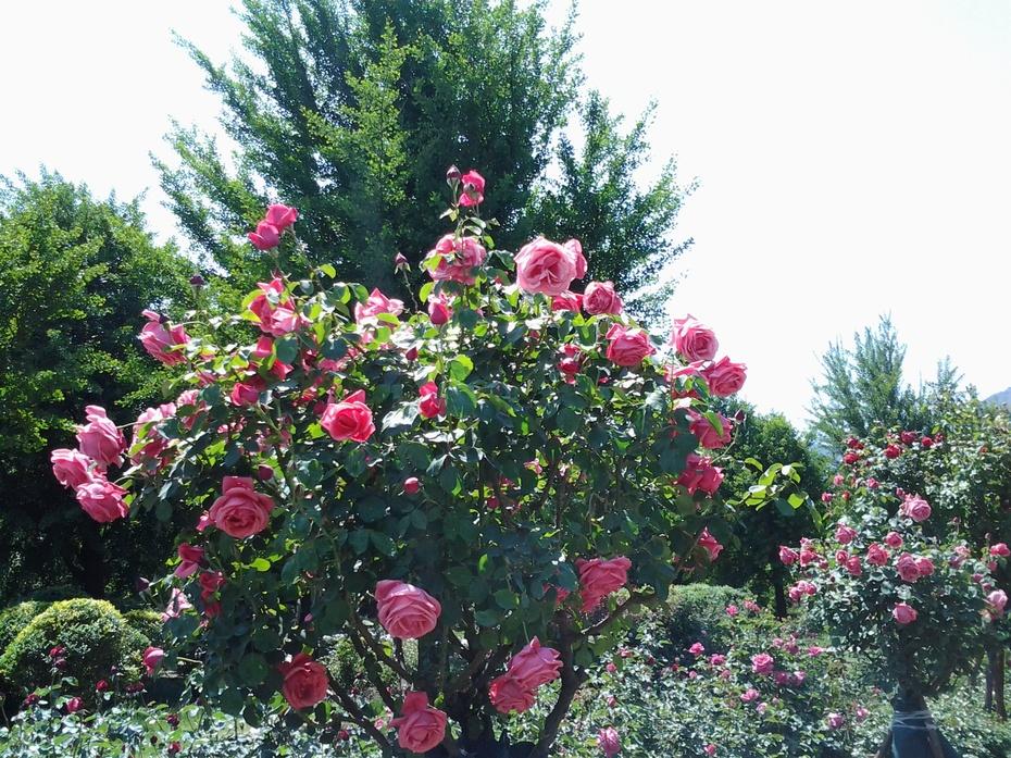 盛开的月季花(手机拍摄)9 - ydq200888 - ydq200888的博客