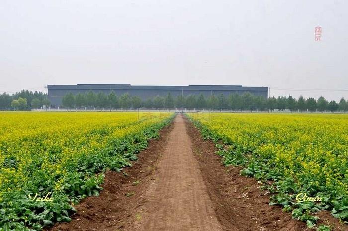 【原创影记】中埠油菜花海 - 古藤新枝 - 古藤的博客