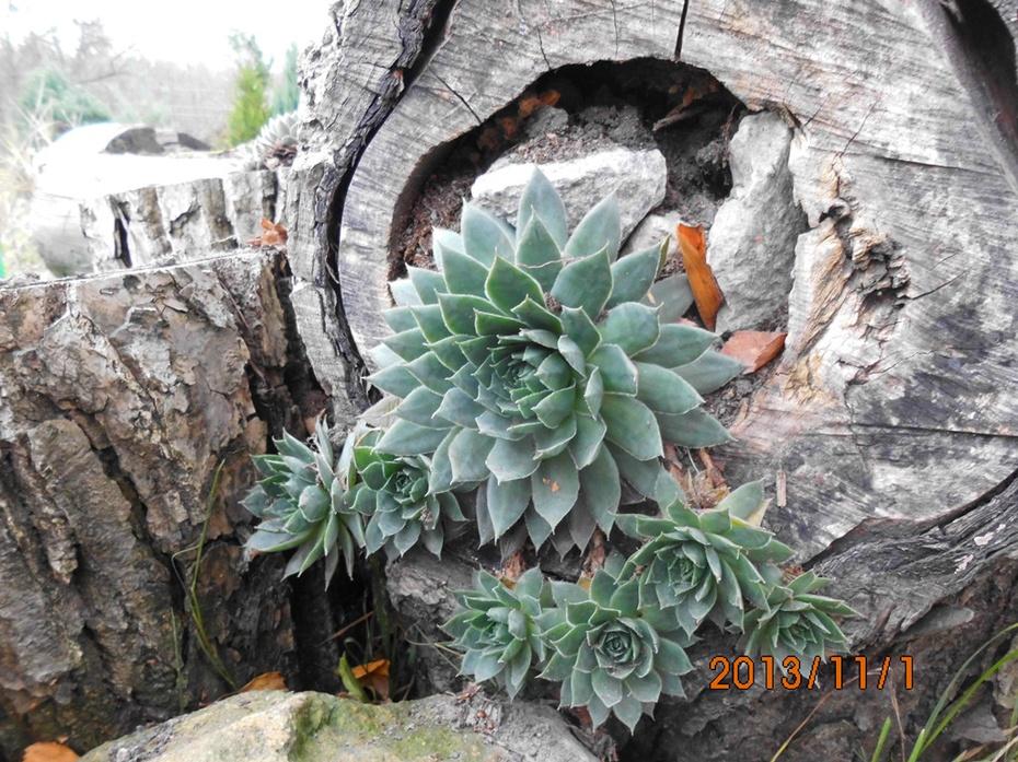 捷克乡村花园:自制树墩花盆种植多肉植物