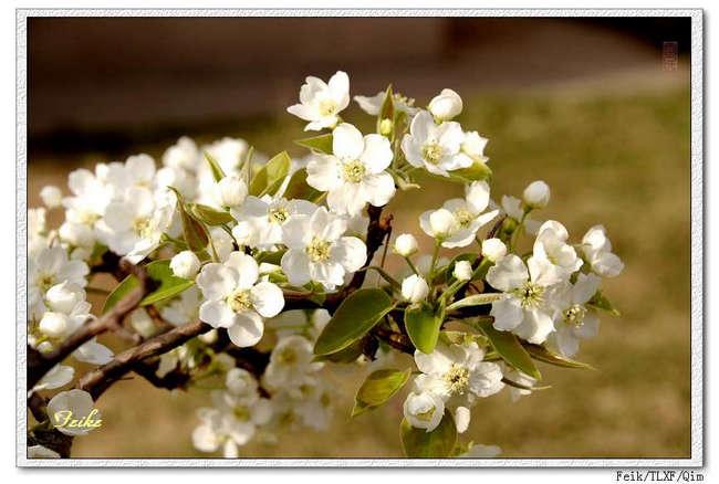 【原创摄影】春日花片——梨花篇1 - 古藤新枝 - 古藤的博客