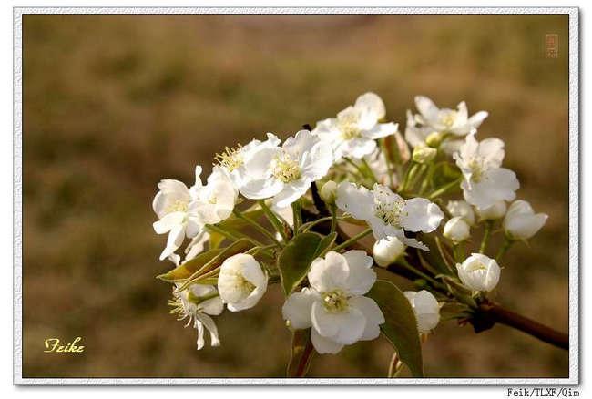 【原创摄影】春日花片——梨花篇2 - 古藤新枝 - 古藤的博客