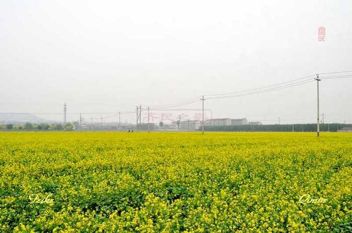 【原创影记】中埠油菜花海2 - 古藤新枝 - 古藤的博客