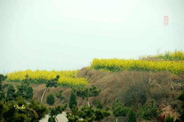 【原创影作】追寻齐鲁油菜花——长清篇1 - 古藤新枝 - 古藤的博客