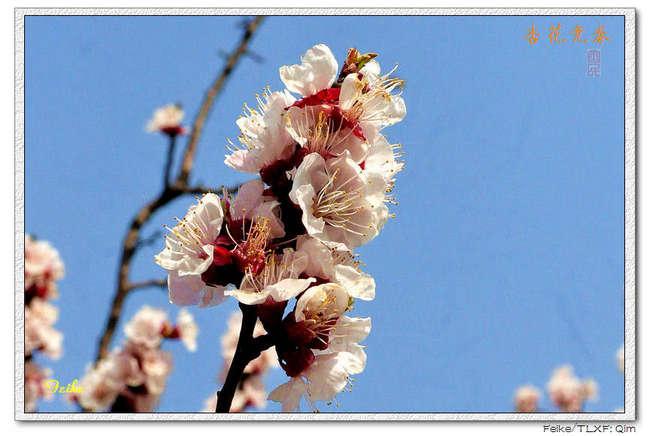 【原创摄影】春日花片——杏花篇1 - 古藤新枝 - 古藤的博客