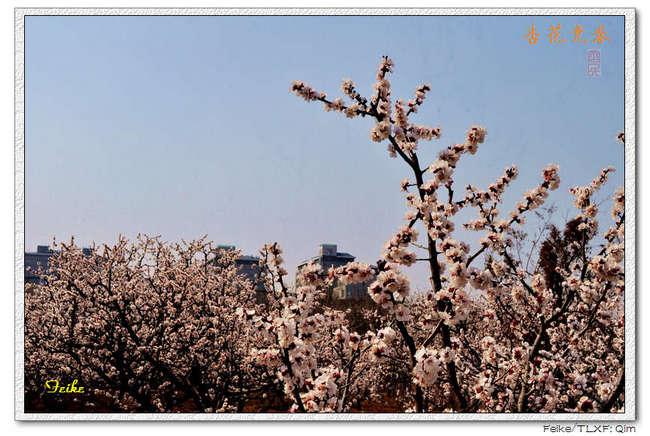【原创摄影】春日花片——杏花景1 - 古藤新枝 - 古藤的博客