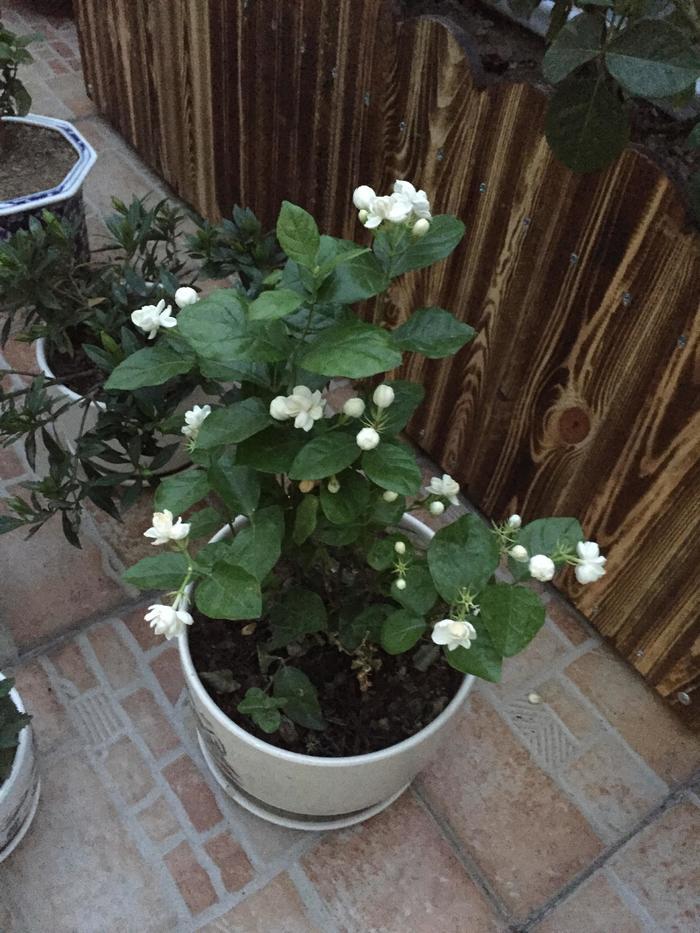 栀子花白兰花 - 蔷薇花开 - 蔷薇花开的博客