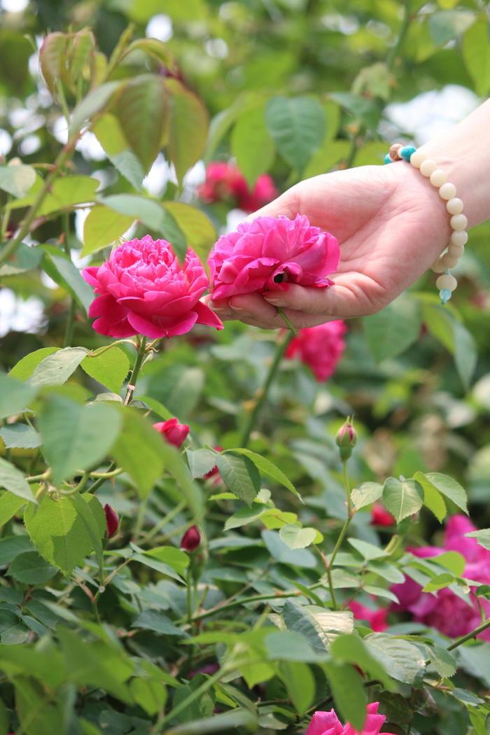 老夫妻的小浪漫 - 蔷薇花开 - 蔷薇花开的博客