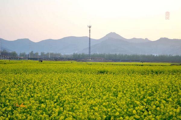 【原创影作】追寻齐鲁油菜花——青州篇1 - 古藤新枝 - 古藤的博客