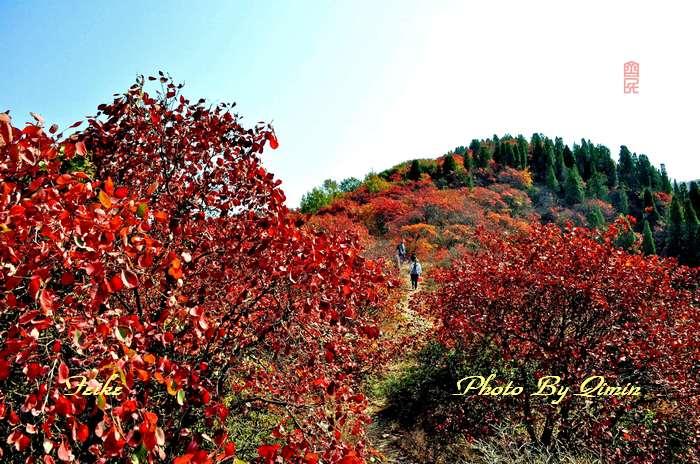 【原创影记】齐鲁观红叶——济南红叶谷1 - 古藤新枝 - 古藤的博客