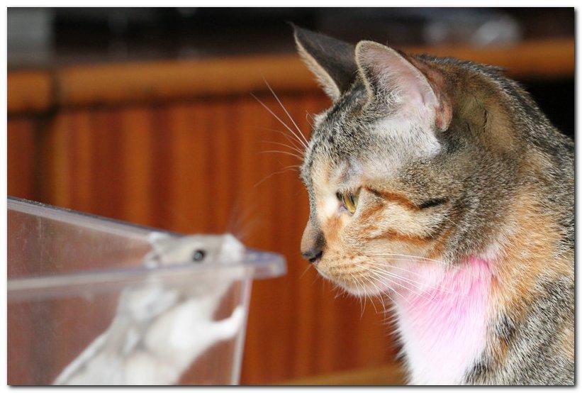 可爱的猫咪与小仓鼠