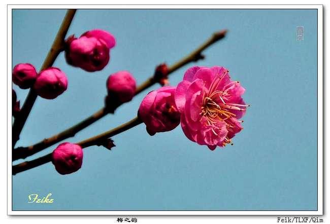 【原创摄影】梅之韵2 - 古藤新枝 - 古藤的博客