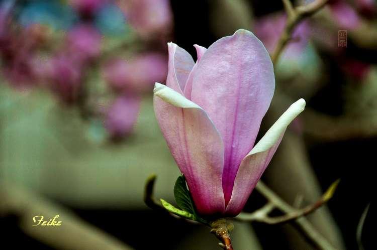 【原创摄影】玉兰花2 - 古藤新枝 - 古藤的博客