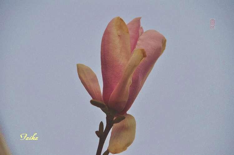玉兰花 - 古藤新枝 - 古藤的博客