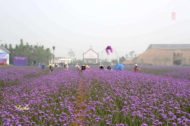 【原创影作】走进紫缘香草园 - 古藤新枝 - 古藤的博客