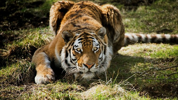 野生动物园老虎伤人是谁之错? - 林海东 - 林海东的博客