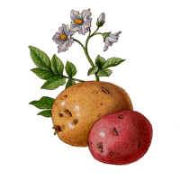 爱吃土豆,好事还是坏事? - 范志红 - 原创营养信息