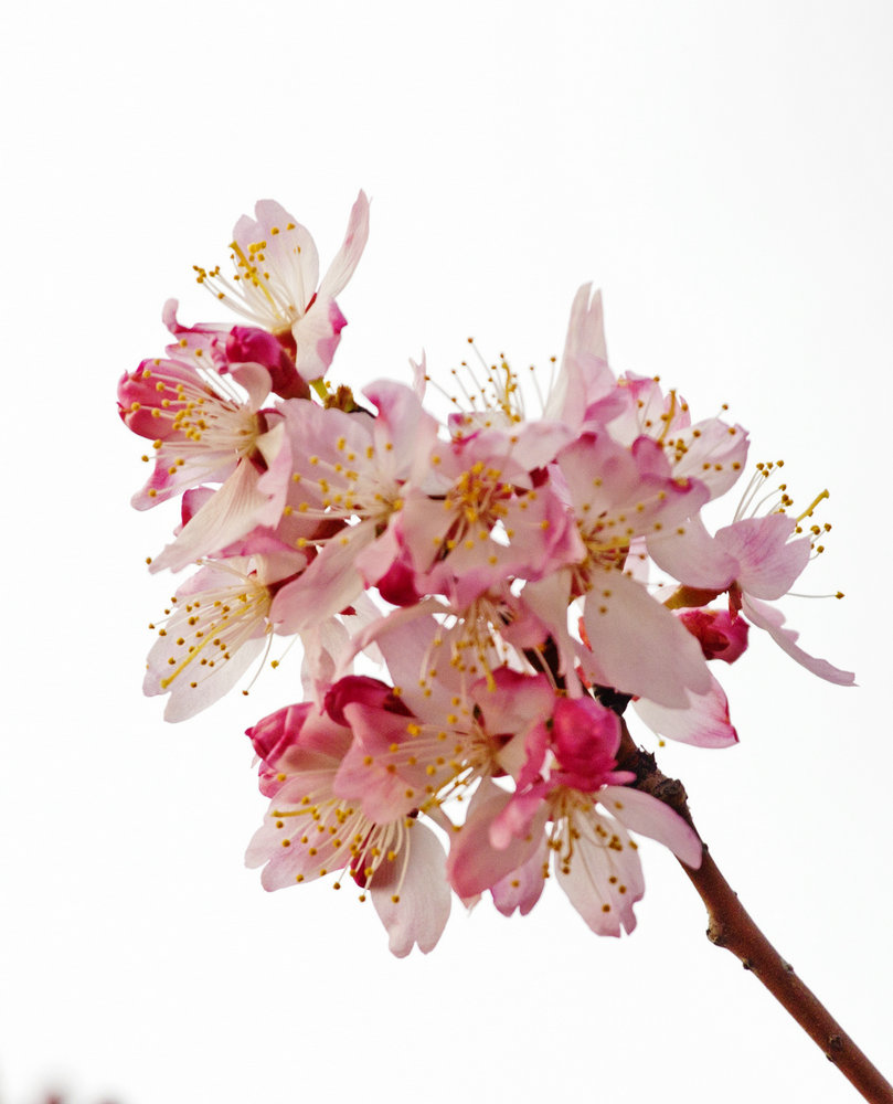 玉渊潭春风送晚霞,早樱花PK山桃花 - 侠义客 - 伊大成 的博客