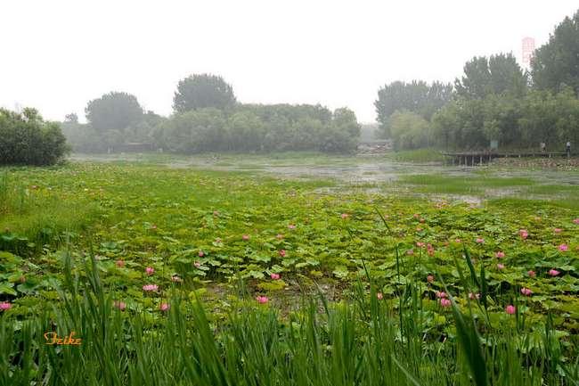 【原创影作】荷景荷韵之白浪绿洲 - 古藤新枝 - 古藤的博客