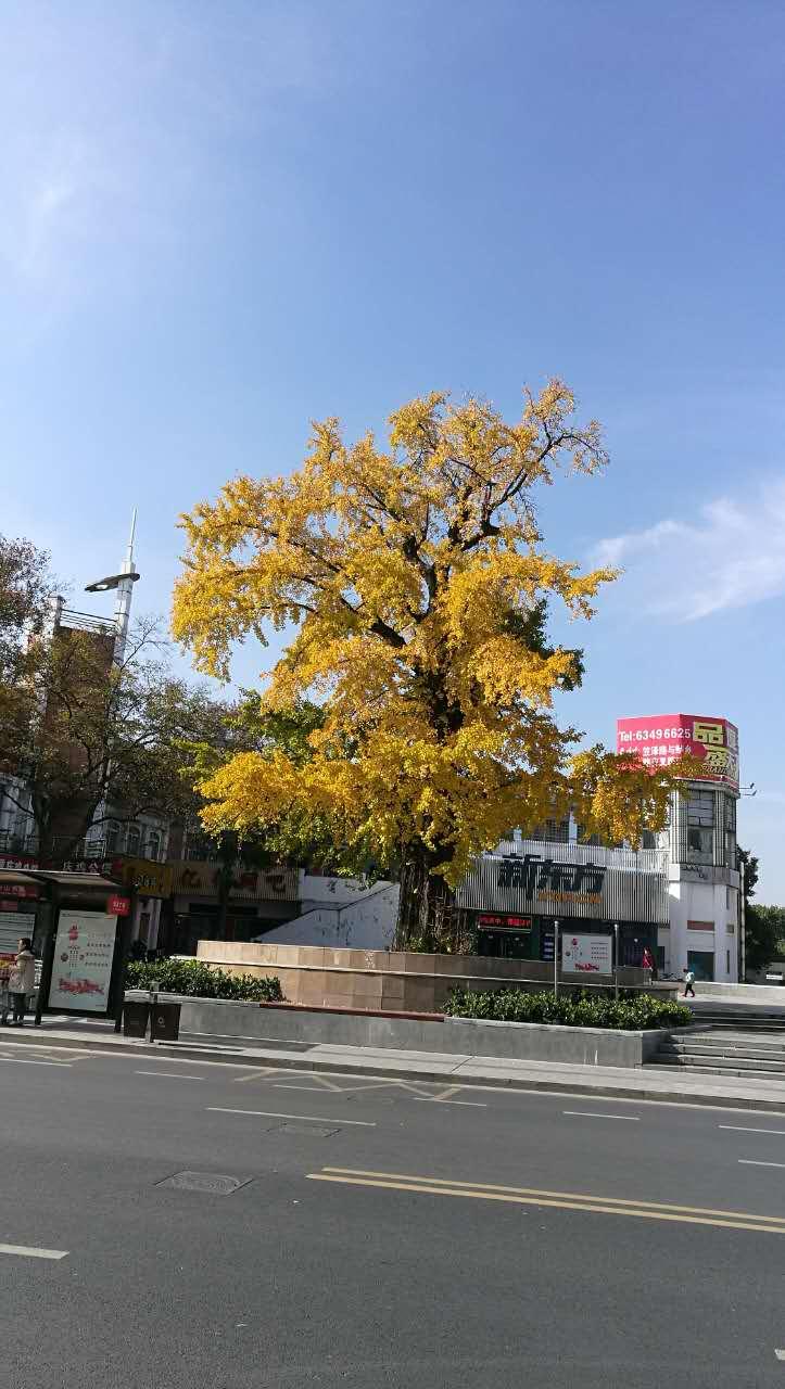 银杏树下 - 蔷薇花开 - 蔷薇花开的博客