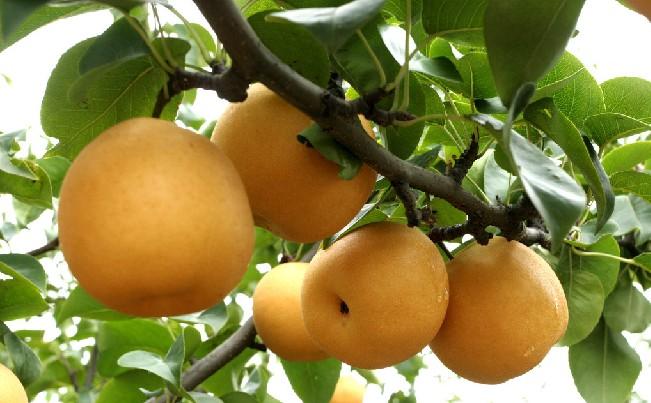 水果中的保健上品----梨 - 海军航空兵 - 海军航空兵
