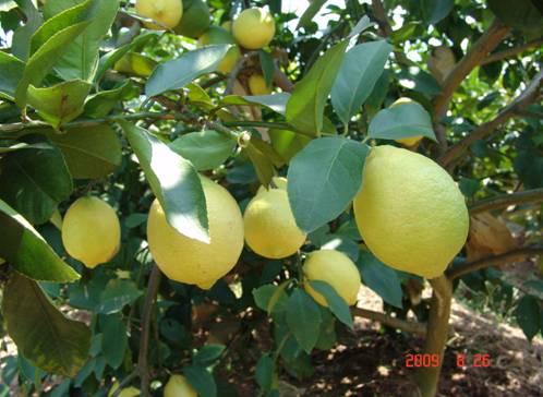 【退休生活】——土老冒买柠檬 - 锦州老牛 - 锦州老牛的博客