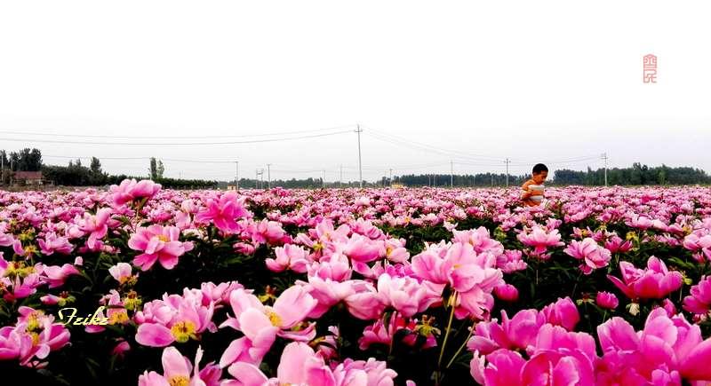 【原创影记】慕见芍药花海2 - 古藤新枝 - 古藤的博客