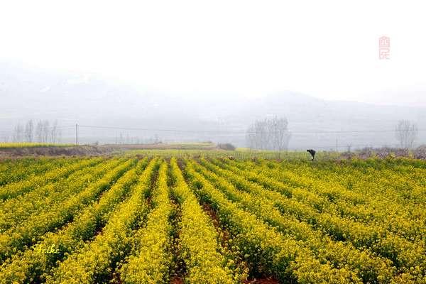 【原创影作】追寻齐鲁油菜花——长清篇3 - 古藤新枝 - 古藤的博客