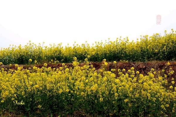【原创影作】追寻齐鲁油菜花——长清篇2 - 古藤新枝 - 古藤的博客