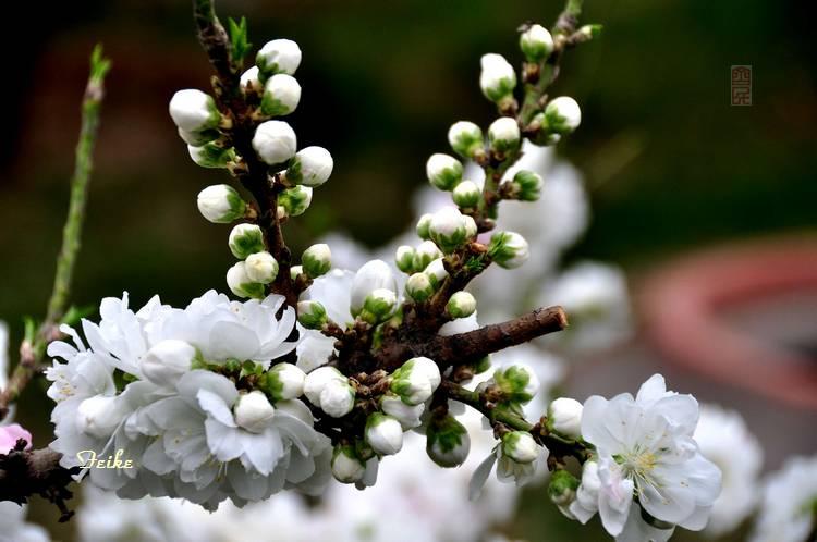 【原创摄影】春花集——园艺桃花1 - 古藤新枝 - 古藤的博客