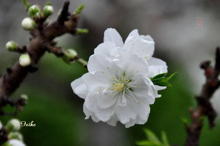【原创摄影】春花集——园艺桃花2 - 古藤新枝 - 古藤的博客