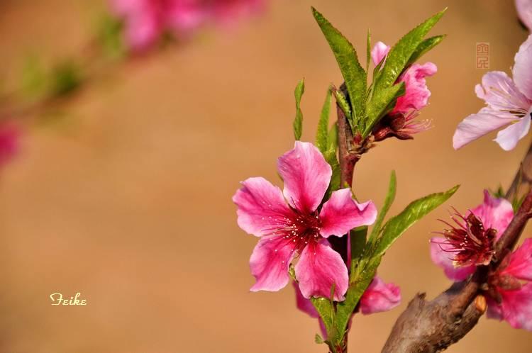【原创摄影】春花集——桃花1 - 古藤新枝 - 古藤的博客