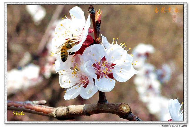 【原创摄影】春日花片——杏花篇2 - 古藤新枝 - 古藤的博客