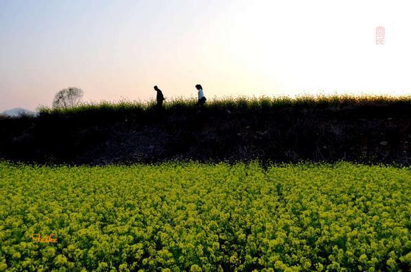【原创影作】追寻齐鲁油菜花——青州篇2 - 古藤新枝 - 古藤的博客