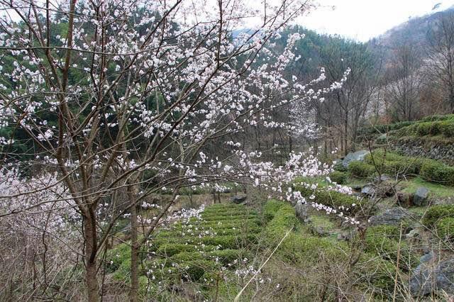山乡罕见古树樱花 - 余昌国 - 我的博客