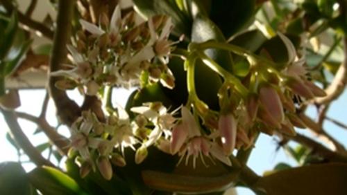 万年不开花的玉树 在南京开花了 - 追真求恒 - 我的博客